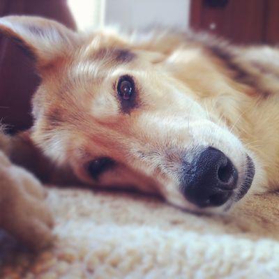 Sweet-senior-dog-Cleo