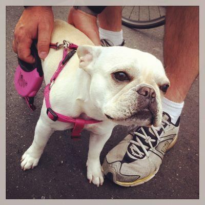 Pink-French-Bulldog