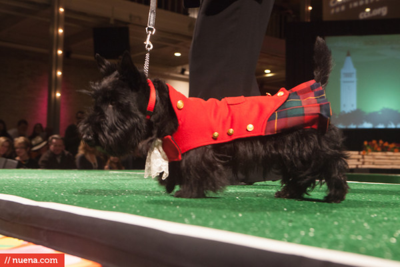 ScottishTerrier
